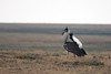 Kori bustard displaying, Serengeti Tanzania by inyathi