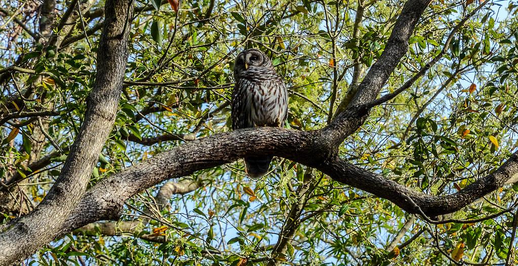 Owl AK