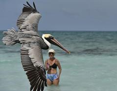 Pelican flying near the beach at Varadero, Cuba, 03-17-2019 045