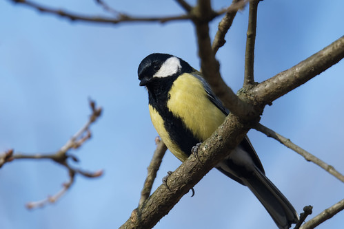 Great Tit (Parus major) Talgoxe | by abjorken