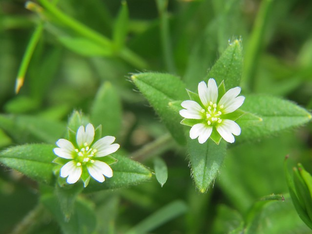 patterns in the chickweed