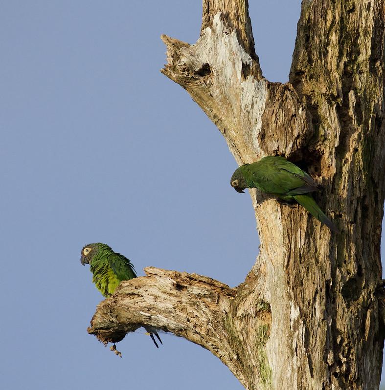 Dusky-headed Parakeet, Aratinga weddellii Ascanio_Peruvian Amazon 199A6039