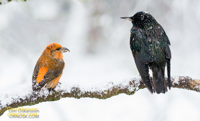 Krossnefur (Common Crossbill / Red Crossbill) og stari (Starling)