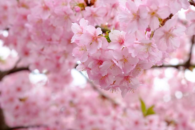 Обои ветки, вишня, дерево, весна, сакура картинки на рабочий стол, раздел цветы - скачать