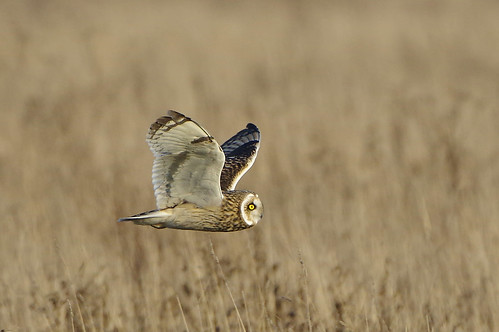 burwellfen cambridgeshire nationaltrust wild bird wildlife nature shorteared owl asioflammeus hunting flight