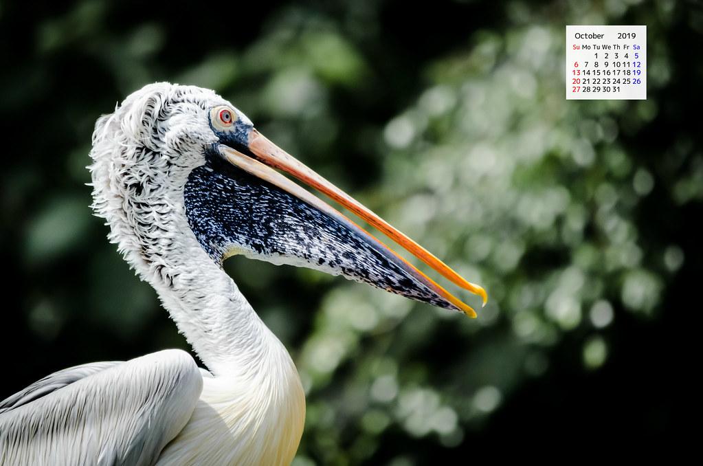 free Download October 2019 Wallpaper Calendar - Portrait Of A Pelican