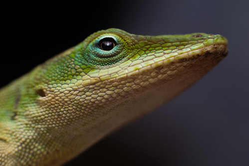 Poolside Anole | by Kasuyin