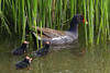 Common Gallinules by barbmerrill2