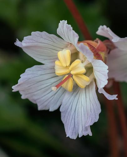 Shortia galacifolia var. brevistyla (Northern Oconee Bells) [Explored 2019-03-23] | by jimf_29605
