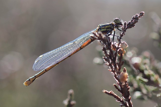 ... large red Damselfly, teneral @ Bissoe valley nature reserve...27/03/2019....3 sighted...