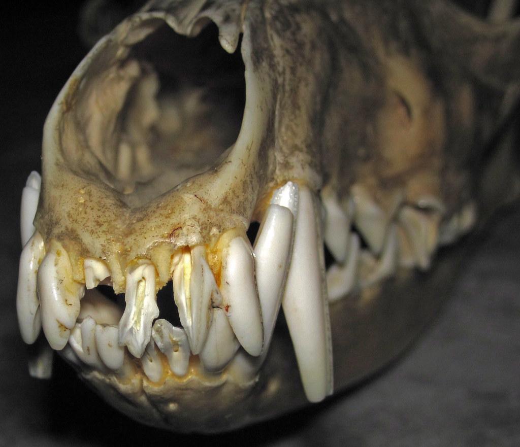Canis latrans (prairie wolf