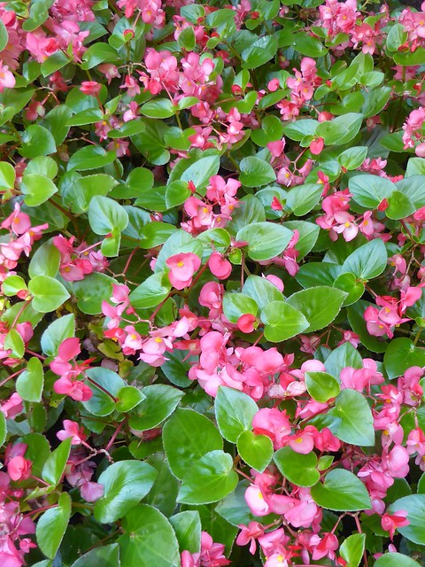 Chicago, Near Lake Shore Park on Pearson, Pink Begonia Flower Bed