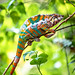 Panther Chameleon - Photo (c) Andreina Schoeberlein, some rights reserved (CC BY-NC-ND)