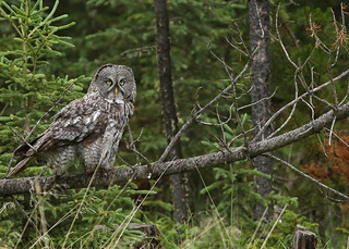 Great Gray Owl...#62