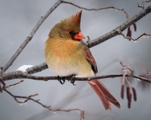 Female Cardinal - 9600