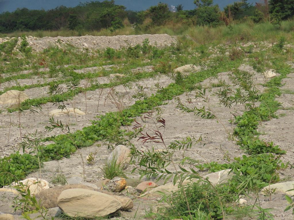 原本光禿、寸草不生之地,經台東處條播藤蔓類種子後,如今已逐漸抓住土地、形成地被。攝影:廖靜蕙