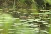 Hartlaub's duck Ankasa Conservation Area in Ghana by inyathi