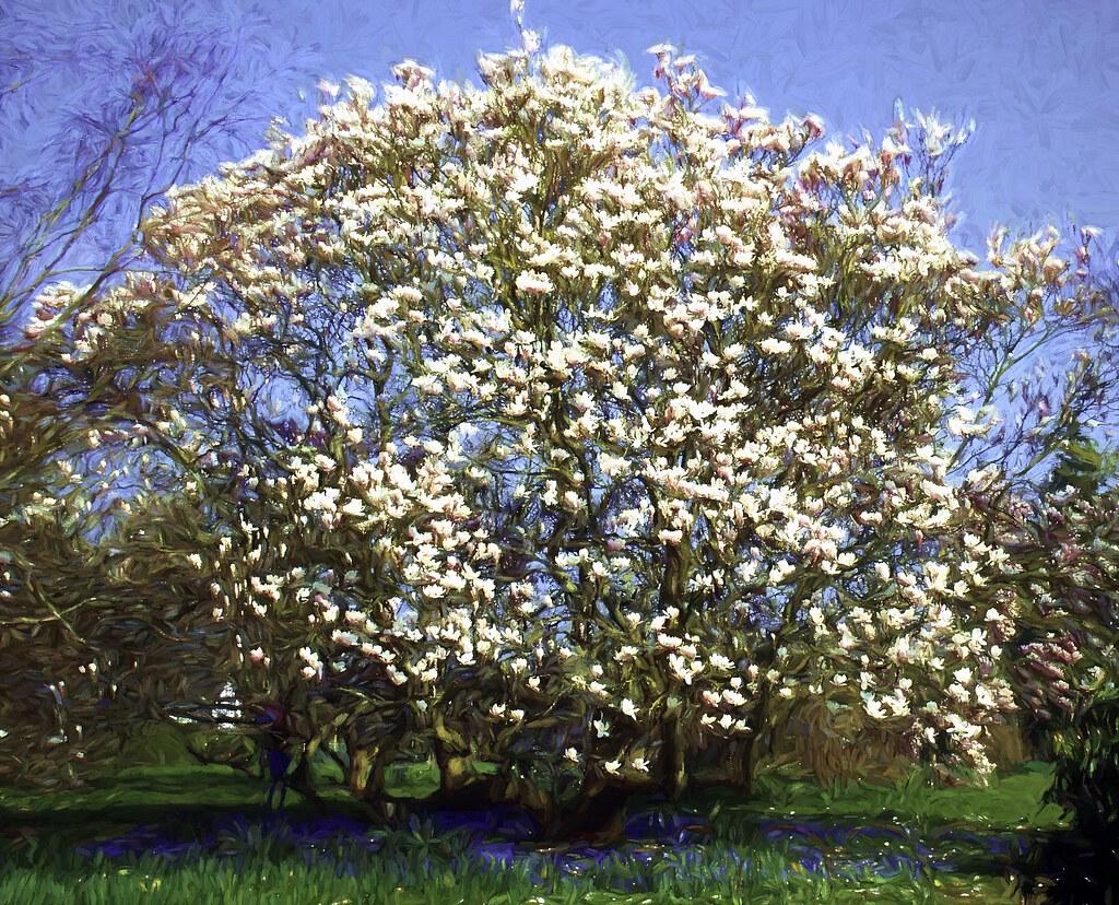 Magnolia And Bluebells For Bob A Van Gogh Original Aussiemobs