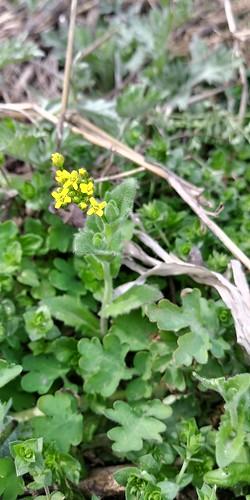 우지네골 봄꽃 산책길 | 꽃다지