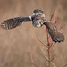 Northern Hawk Owl by Taylor Ann Green