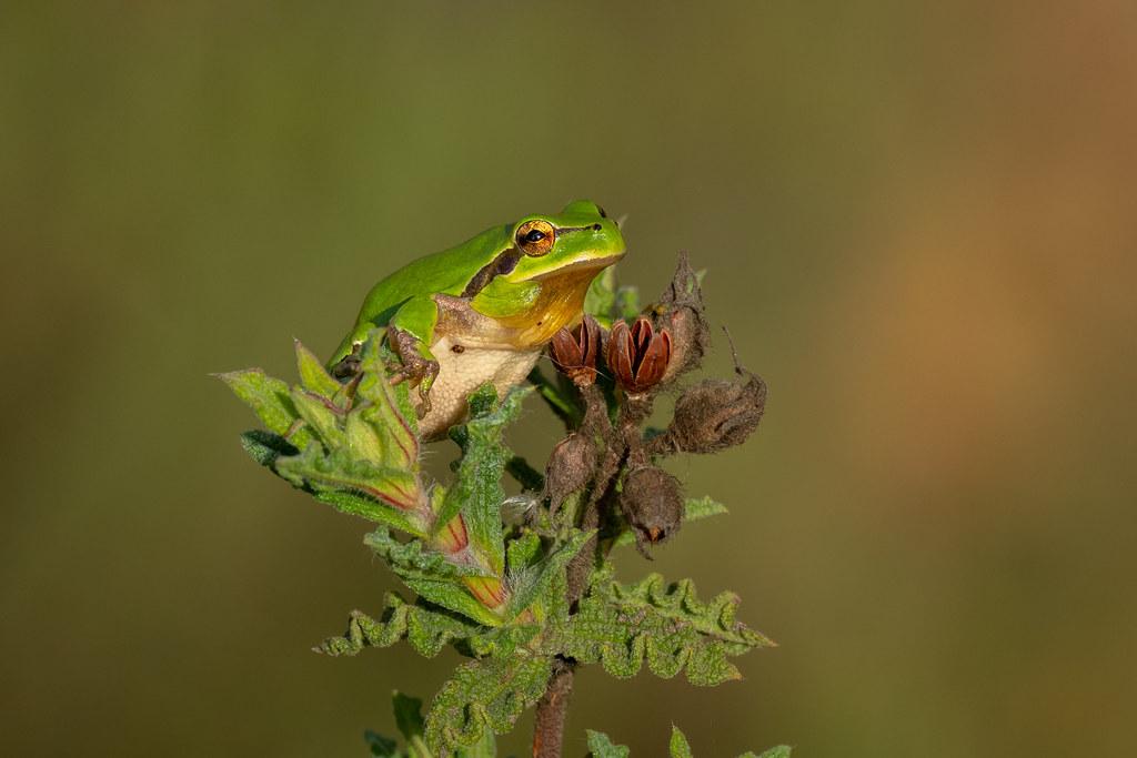 Mediterranean Tree Frog - Rela-meridional - Hyla meridionalis