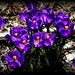 Spring in Brooklyn. Crocus illuminators by dimaruss34