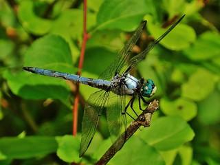 Great Blue Skimmer At Lake Allen