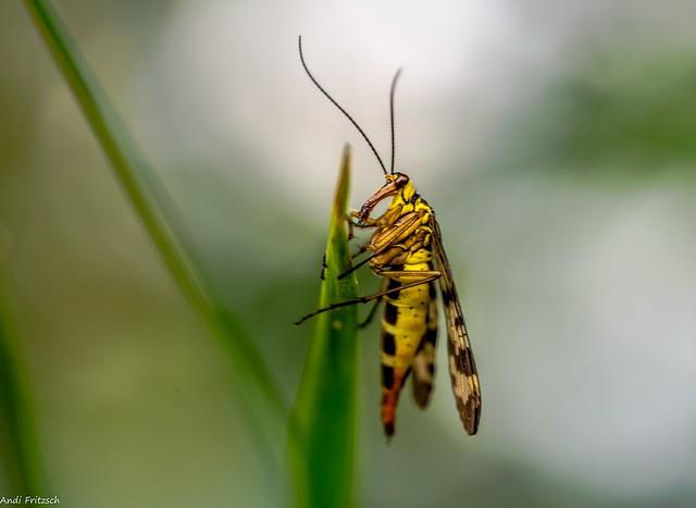 weibliche Scorpionsfliege female Scorpion fly