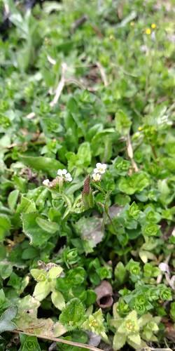 우지네골 봄꽃 산책길 | 냉이꽃