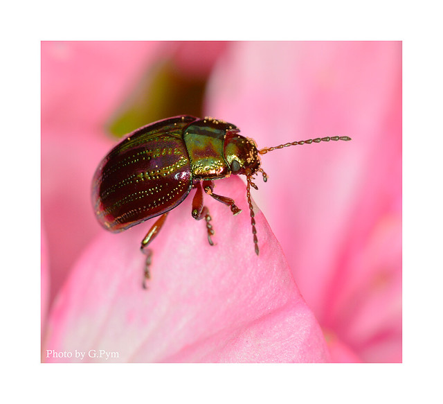 Shiny beetle
