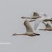 Steider Studios.Swans in flight.12.22.18