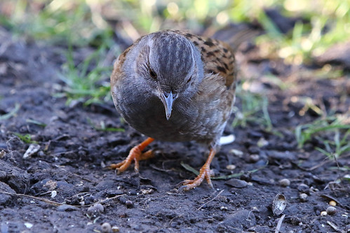Dunnock | by Paul Marfell