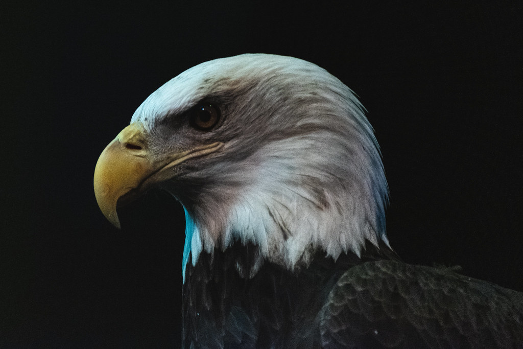 A close up of a bald eagle