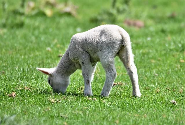 Lamb in the sunshine.