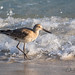 Willet by ChristineDarnell