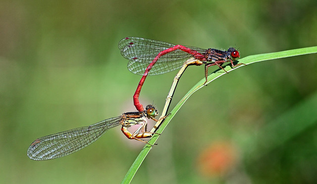 Small Red Damselflies,Ceriagrion tenellum.