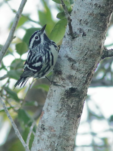 Black-and-White Warbler male 08-20190328