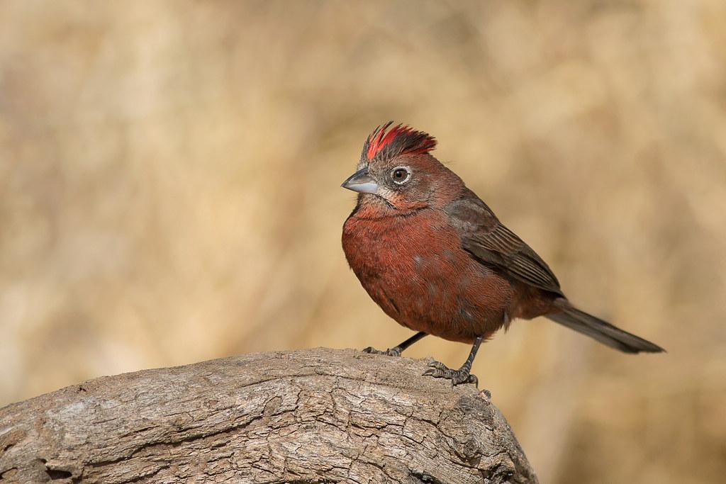 Brasita de Fuego - Coryphospingus cucullatus - Red-crested Finch ♂