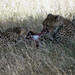 Cheetahs enjoying breakfast, Piaya Serengeti, Tanzania