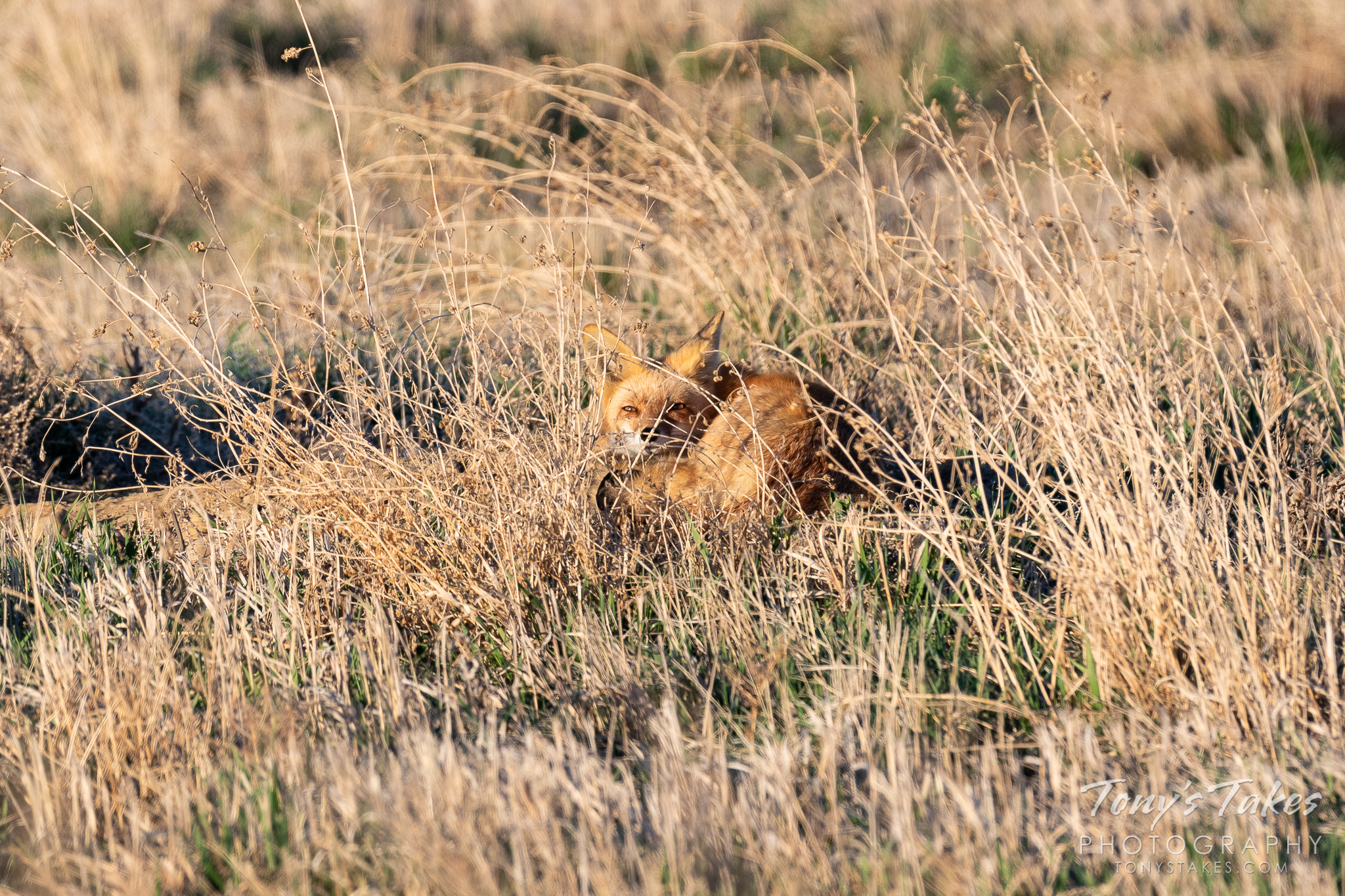 A fox stirs from a morning nap on the Colorado plains. (© Tony's Takes)