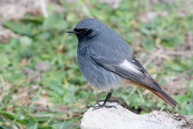 Black Redstart-256