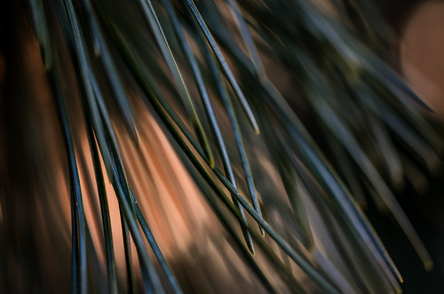 Pine Needles | by Edgar.Omar