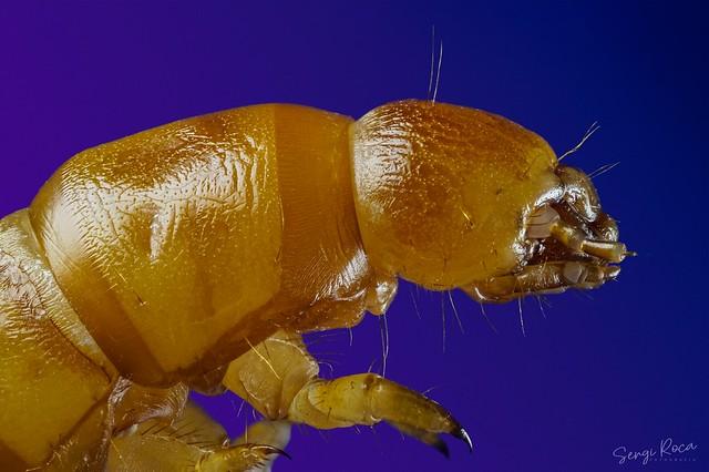 Tenebrio molitor (larva)