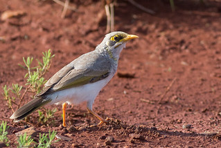 Yellow-throated Miner | by steve happ