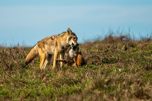 Coyote Horseplay | by lennycarl08