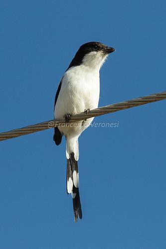 175shrikes birds riftvalley kenya africa commonfiscal