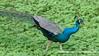 Blue Peafowl (Pavo cristatus), male DSC_0757 by fotosynthesys