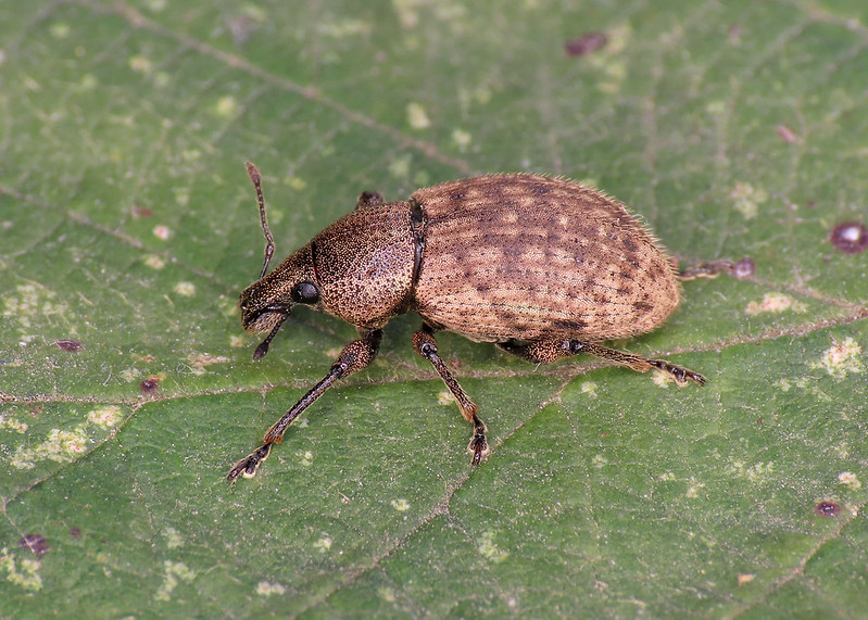 Ground Weevil - Barynotus obscurus