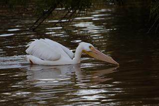 Pelican | by siamesepuppy