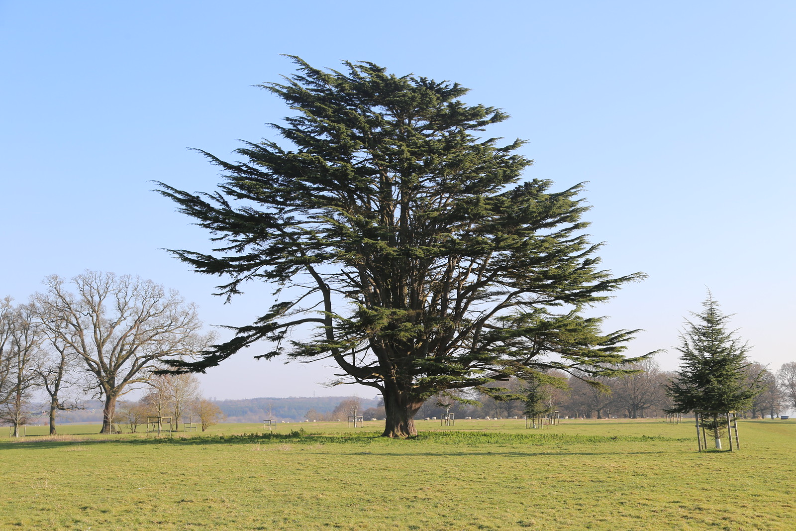 Cedar - North of Henley